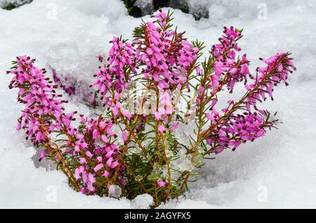 Early spring purple flowers of Common Heather or Calluna vulgaris, surprised by late snow - Stock Photo