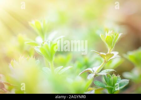 Galium aparine cleavers Beautiful emerald sticky creeping plant stickeljack close-up In spring - Stock Photo