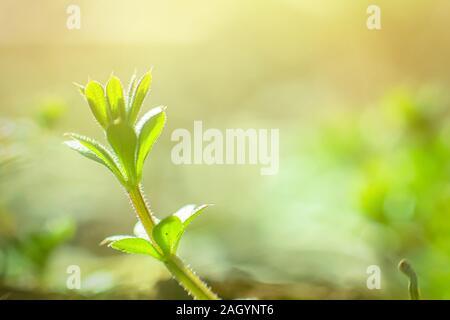 Galium aparine cleavers, clivers, robin-run-the-hedge, sticky willy, stickyjack, stickeljack, and grip grass close-up In spring. Soft focus. Film grai - Stock Photo
