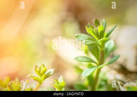Galium aparine cleavers, clivers, goosegrass sticky willy, stickyjack, stickeljack, and grip grass close-up In spring. Soft focus. Film grain. - Stock Photo