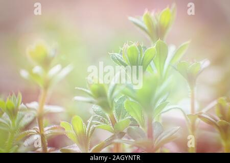 Galium aparine cleavers, catchweed, stickyweed, robin-run-the-hedge, sticky willy, sticky willow, stickyjack, stickeljack use in medicine for treatmen - Stock Photo