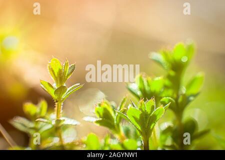 Galium aparine cleavers, clivers, Cleavers (Galium aparine) use in medicine for treatment of disorders grass close-up In spring - Stock Photo