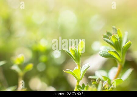 Galium aparine cleavers, clivers, Cleavers (Galium aparine) use in traditional medicine for treatment of disorders of lymph systems, diuretic and as d - Stock Photo