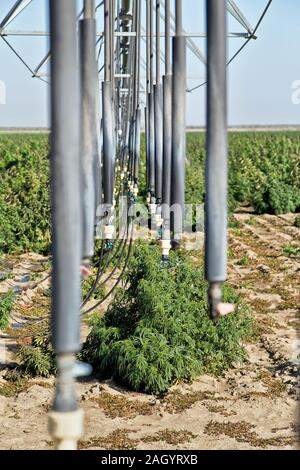 Sprinkler, Linear Irrigation System, vinyl drops, operating in Hemp field 'Frosted Lime' strain,  Cannabis sativa. - Stock Photo