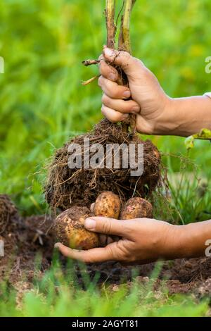 digging bush potato in hand, close up - Stock Photo