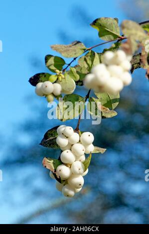 A branch with a cluster of Common Snowberry (Symphoricarpos albus) against a blue background. - Stock Photo