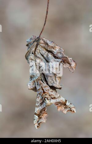 Lettered Sphinx (Deidamia inscriptum) Adult moth showing cyrpsis while sitting on dead leaf. Congaree National Park, South Carolina, spring. - Stock Photo