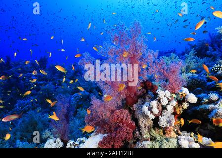 Beautiful soft corals and fish on Elphinstone reef underwater in the Red Sea - Stock Photo