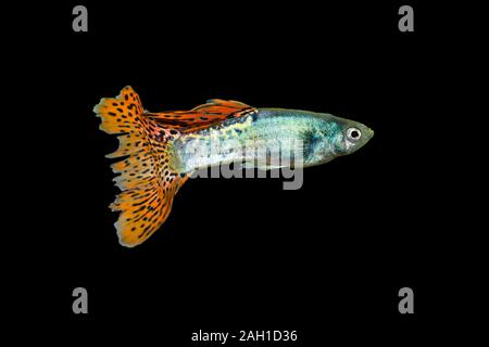 Guppy, Poecilia reticulata White Snow isolated on a black background - Stock Photo