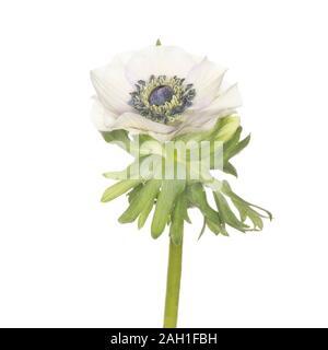 Anemone coronaria isolated on a white background - Stock Photo