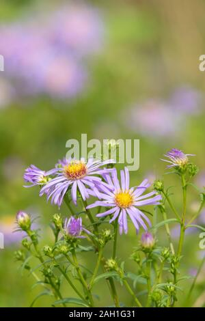 A Michaelmas Daisy Flower (Symphyotrichum Novi-Belgii) on a Sunny Day in Late Summer - Stock Photo