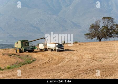 Caledon, Western Cape, South Africa. Combine harvester working with a grain lorry in the wheatlands region close to Caledon, Western Cape.