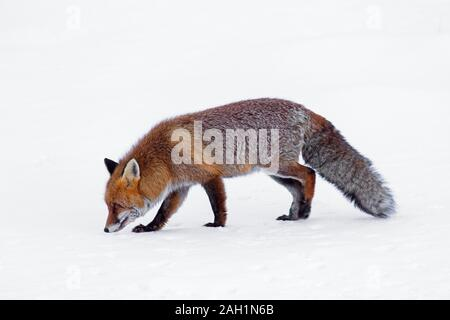 Hunting red fox (Vulpes vulpes) following and smelling scent trail in the snow in winter