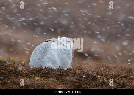 Mountain hare / Alpine hare / snow hare (Lepus timidus) in white winter pelage resting in moorland / heathland during snowfall in spring