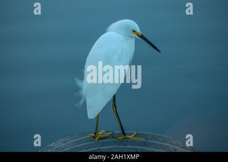 Snowy Egret at Merritt Island National Wildlife Refuge, Florida - Stock Photo