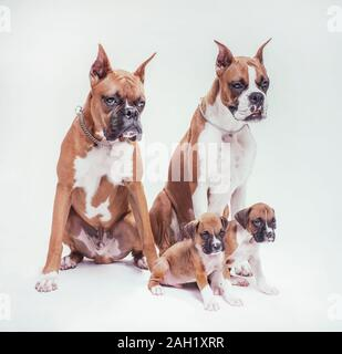 male & female Boxer dog pair with puppies on white studio background - Stock Photo