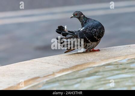 Dove or Pigeon Columba livia domestica. - Stock Photo