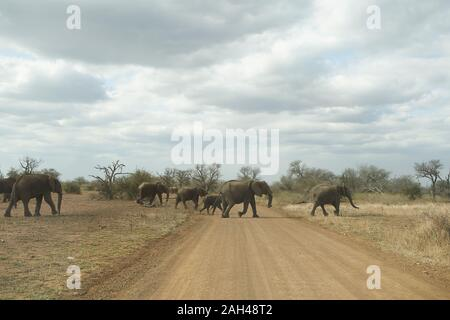 Herd of elephants crossing the road, Kruger National Park, South Africa - Stock Photo