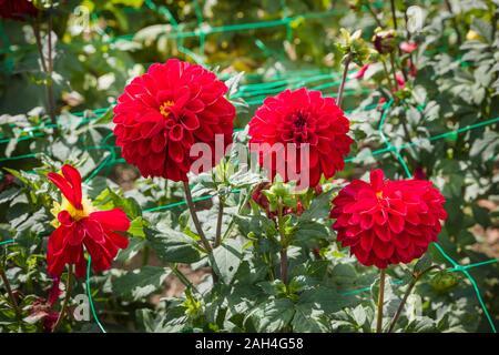 Bright red flowers of Dahlia Atlanta iin September in UK - Stock Photo