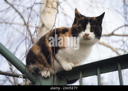 Tricolor cat rest on the fence near birch tree. Stock Photo