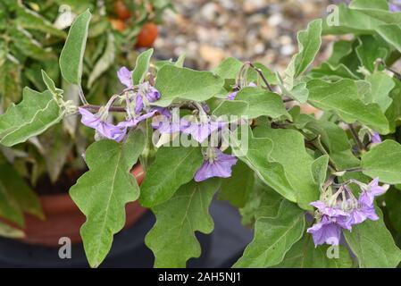 Aubergine, Solanum melongena, auch Eierfrucht genannt, ist eine Gemuese- und Heilpflanze. Eggplant, Solanum melongena, also called egg fruit, is a veg - Stock Photo