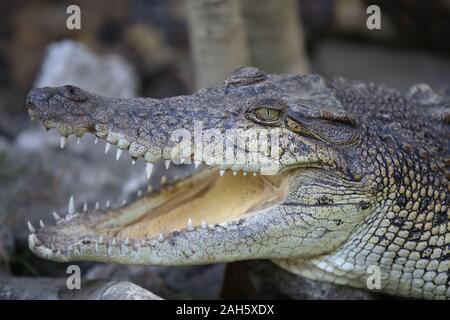 Close up of Saltwater crocodile (Crocodylus porosus) - Stock Photo