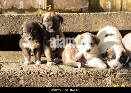 Cute Australian shepherd puppies in countryside in Romania - Stock Photo