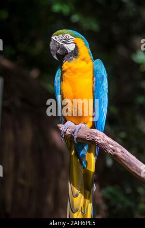 Ara ararauna, blue-and-yellow macaw parrot bird in Parque das aves, Foz do Iguacu, Parana state, Brazil bird park Iguazu Falls