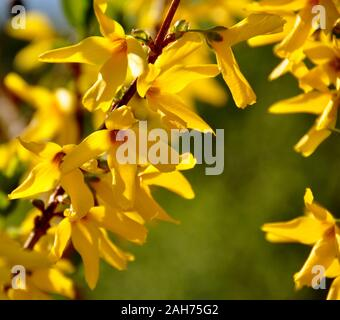 Forsythia shrub flowering early spring - Stock Photo