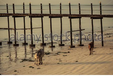 A herd of Zebu cattle walking along the beach of Zanzibar. Cows, bulls and calfs.Zanzibar, Tanzania, Africa - Stock Photo