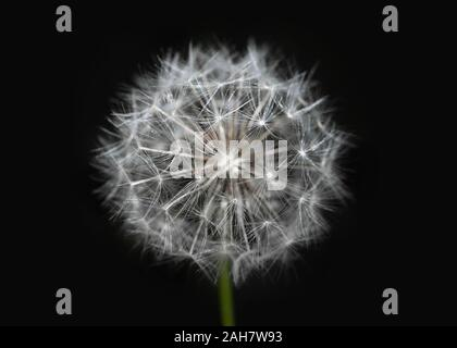 White dandelion on isolated black background. Fluffy dandelion seeds. Dandelion close up macro. A side view of a blooming flower head of the dandelion