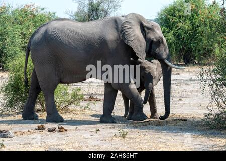 Female African elephant watchful of young calf (Loxodonta Africana) in Chobe National Park, Botswana, Southern Africa - Stock Photo