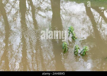 Submerged Nettles / Urtica dioica in flooded drainage channel after heavy rain. Concept flood waters, winter floods, submerged, water reflections. - Stock Photo