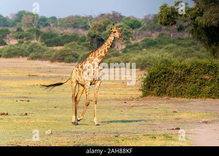 Solitary female southern giraffe (Giraffa camelopardalis) walking across open area in Chobe National Park, Botswana, Southern Africa - Stock Photo