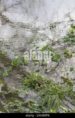 Submerged weeds in winter flooded drainage channel after heavy rain. Concept flooding, flood waters, winter floods, submerged, water reflections. - Stock Photo