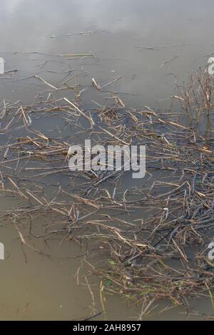 Submerged reeds & plants in flooded water of a drainage channel after heavy rain. Concept flooding, flood waters, winter floods, submerged, swamp - Stock Photo