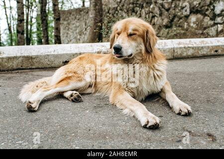 Cute old dog lying resting on the asphalt - Stock Photo