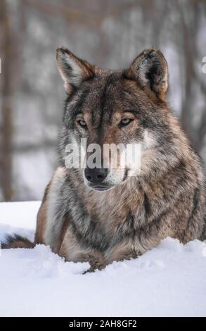 The gray wolf (Canis lupus Linnaeus, 1758), also called common wolf or simply wolf, is a lupine canid, present in the remote areas of North America - Stock Photo