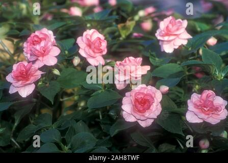 HEALTHY DOUBLE PINK IMPATIEN FLOWERS (COMMONLY KNOWN AS BUSY LIZZIES) - Stock Photo