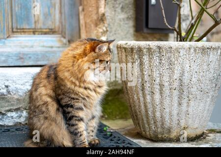 A beautiful long haired tabby cat with watches from outside a weathered blue door in the medieval village of Gourdon, France. - Stock Photo