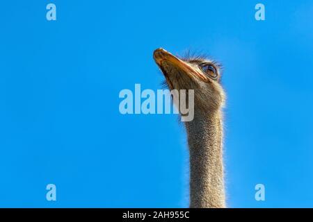 Ostrich head closeup. Ostrich head on clear blue sky. Head of largest bird on blue background. Largest bird. Wild animal. Strong beak, big eyes. Struthio camelus. Long neck and beak - Stock Photo