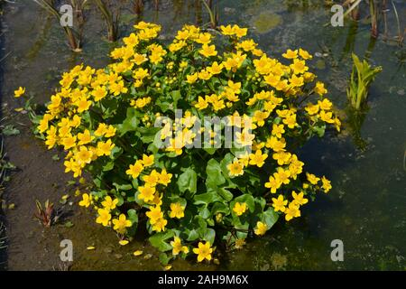 Caltha Palustris or Marsh Marigold, flowering in a garden pond - Stock Photo