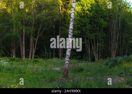 Alone birch in front of the green forest - Stock Photo