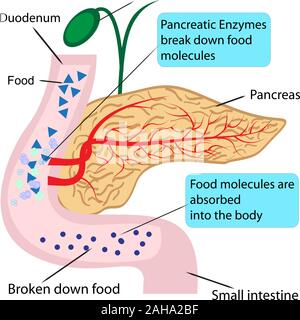 Pancreatic role and functionin digestion process in a human body  vector illustration infographics - Stock Photo