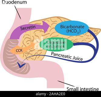 Pancreatic function in a human body vector illustration infographics - Stock Photo