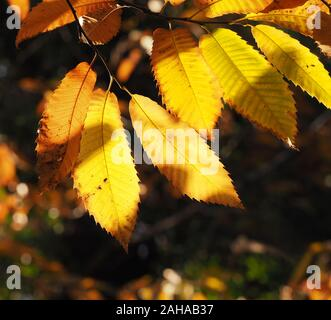 Sweet Chestnut leaves (Castanea sativa) showing golden autumn colours. Tipperary, Ireland - Stock Photo