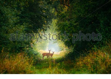 Two young Fallow deer in the forest, Poland - Stock Photo