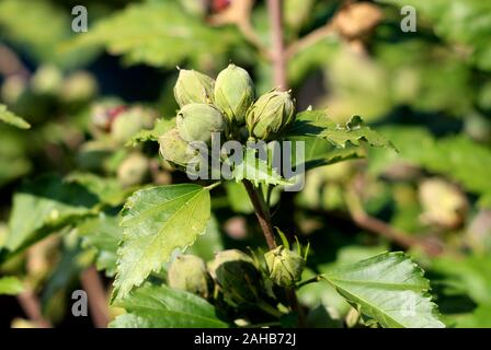 Hibiscus syriacus Red Heart or Rose of Sharon Red Heart variety flowering hardy deciduous shrub plant bunch of closed flower buds - Stock Photo