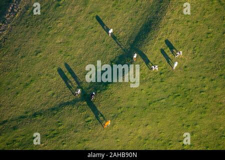 Aerial photo, Cows on the pasture, Am Uchtenberg, Grevenstein, Meschede, Sauerland, North Rhine-Westphalia, Germany, DE, Europe, Forms and colours, Co - Stock Photo