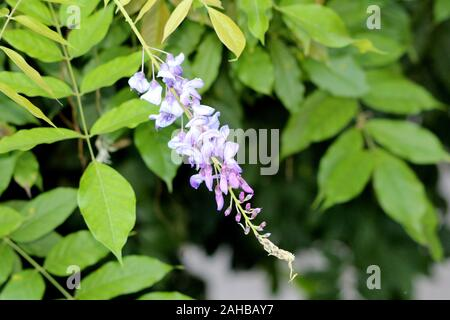Wisteria woody climbing vine flowering plant with partially open pendulous raceme containing purple to violet petals - Stock Photo